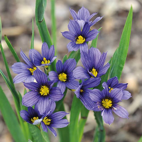 Sisyrinchium Moody Blues