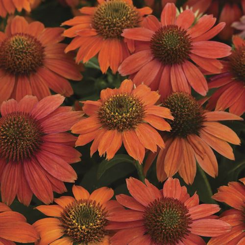 Echinacea Artisan™ Red Ombre