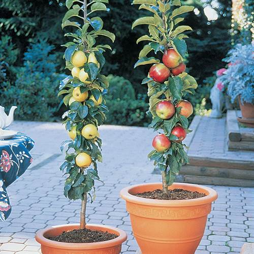 Patio Apple Sentinal™ Tree Kit