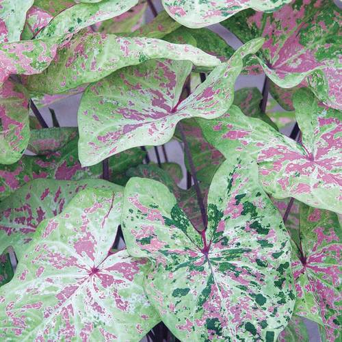 Caladium Sea Foam Pink