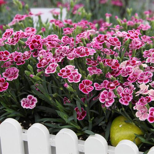 Dianthus Pink Kisses®