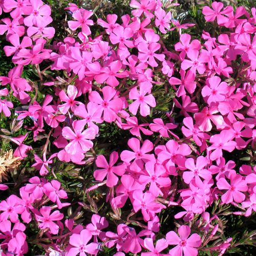 Phlox Drummonds Pink