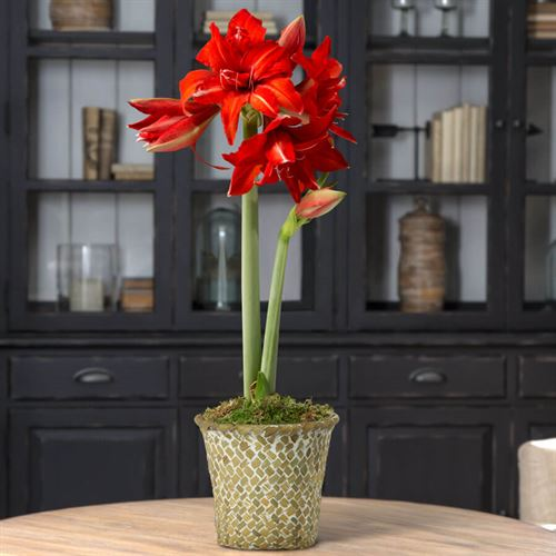 Single Fanfare Amaryllis