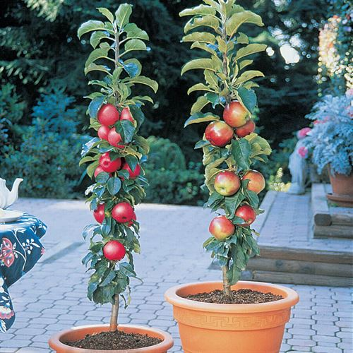 Patio Apple Northpole™ Tree Kit