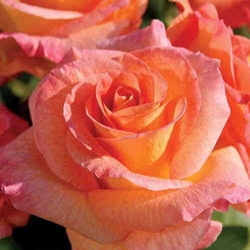 Rosa Mardi Gras™ 24-inch Tree Rose