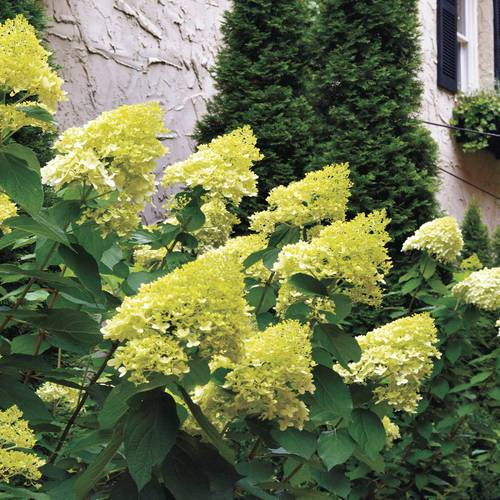Shop All Panicle Hydrangea