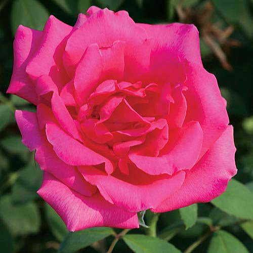 Astounding Glory Hybrid Tea Rose