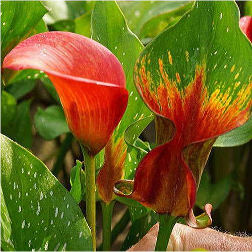 Zantedeschia Red Alert