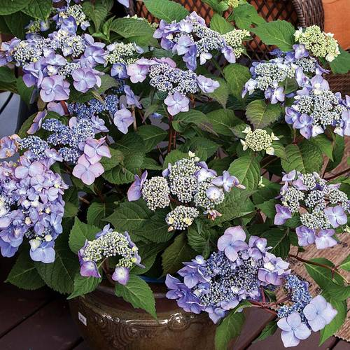 Shop All Lacecap Hydrangea