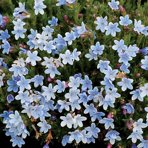 Lithodora Crystal Blue