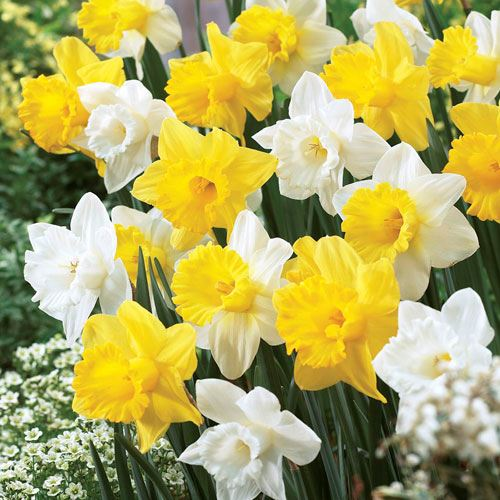 Narcissus Welcoming Trumpets Mix