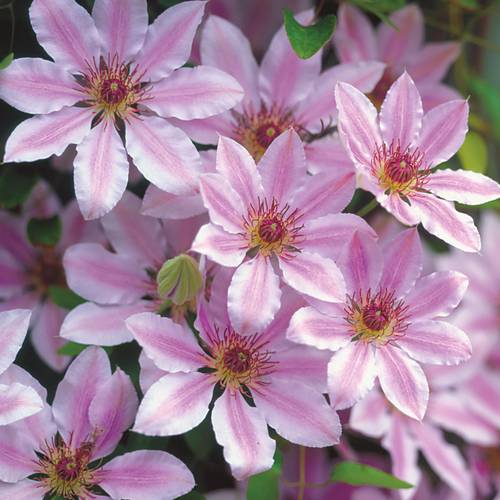 Clematis Nelly Moser