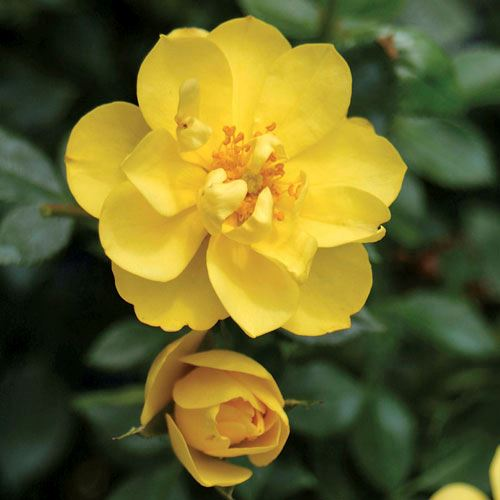 Rosa Oso Easy® Lemon Zest