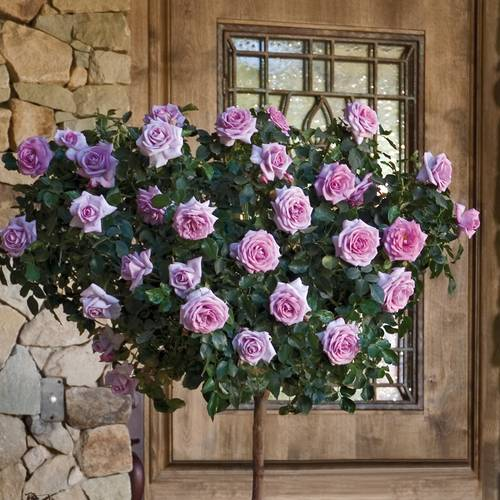 Enchanted Evening 36-inch Tree Rose