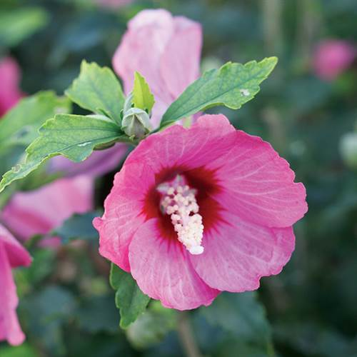 Hibiscus Lil Kim® Red