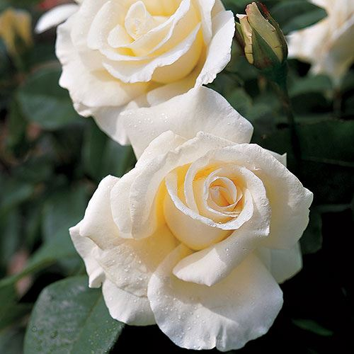 Honor Hybrid Tea Rose