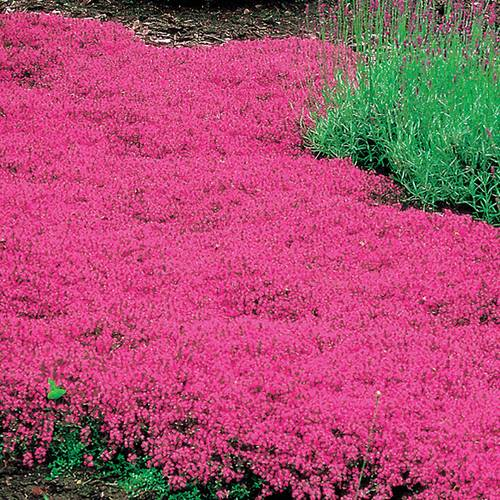 Thymus Coccineus  - Pack of 6