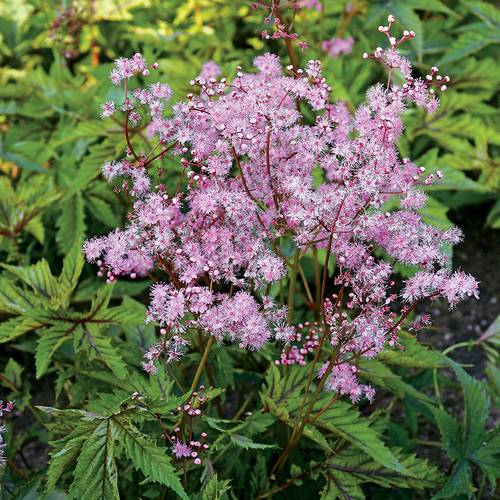 Filipendula Red Umbrellas