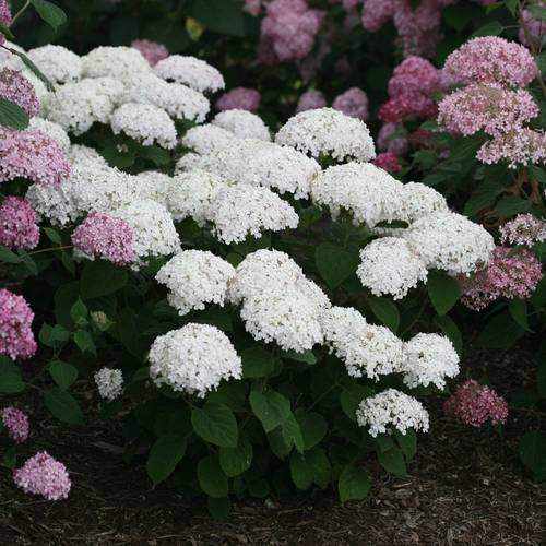 Shop All New Wood Blooming Hydrangeas