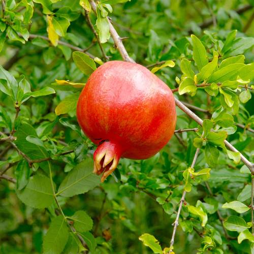 Punicum Crimson Sky™ Pomegranate