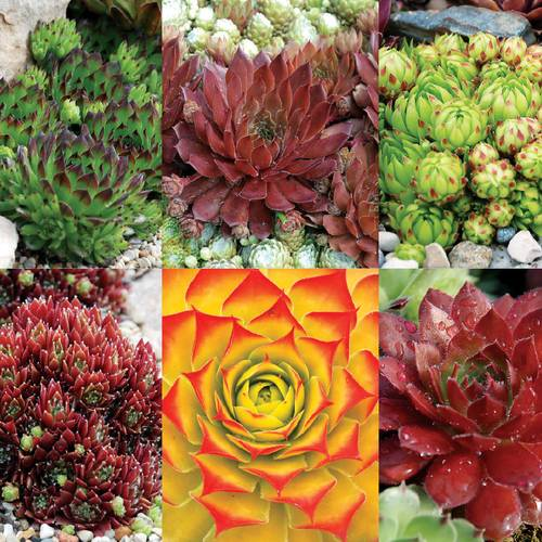 Sempervivum Chick Charms® Succulent Mix