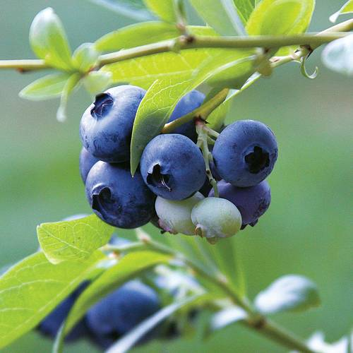 Blueberry Tophat