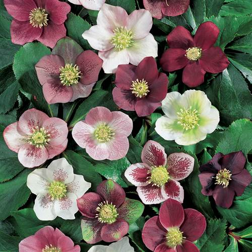 Royal Heritage™ Strain Lenten Rose