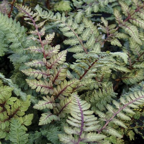 Athyrium Regal Red