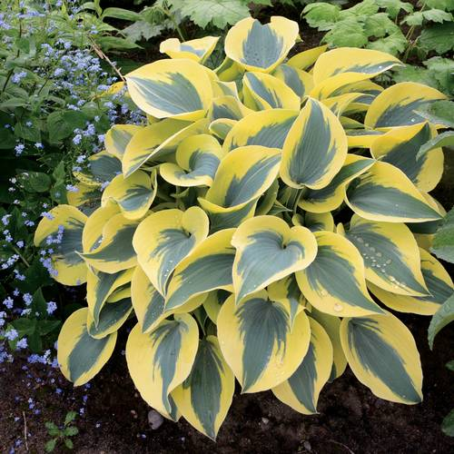 Hosta Shadowland® Autumn Frost