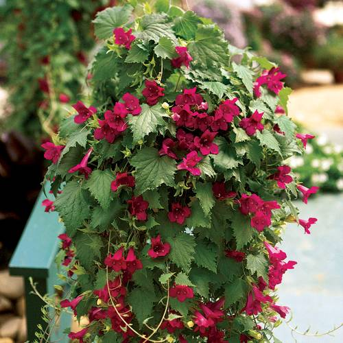 Creeping Gloxinia Lofos™ Wine Red PP#15,532
