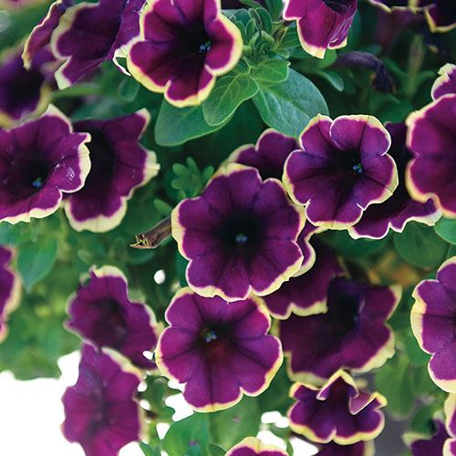 Petunia Surprise Moonlight Bay (pack of 3)