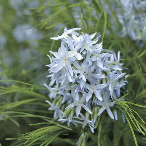 Amsonia Arkansas Blue Star