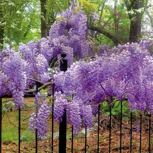 Wisteria Blue Moon At Wayside Gardens
