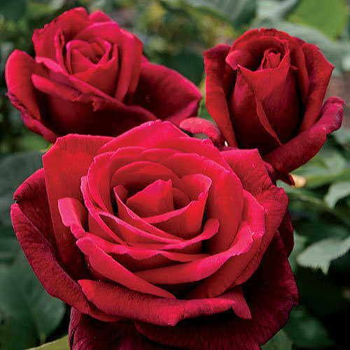 Rose Mister Lincoln Hybrid Tea