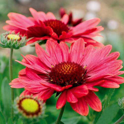Gaillardia Aizona Red Shades