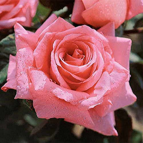 Beautiful Dreamer Hybrid Tea Rose