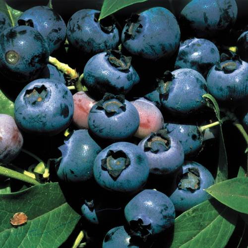 ONeal Blueberry