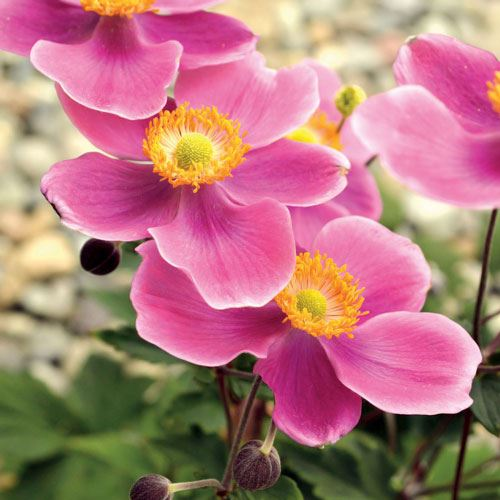 Anemone Lucky Charm