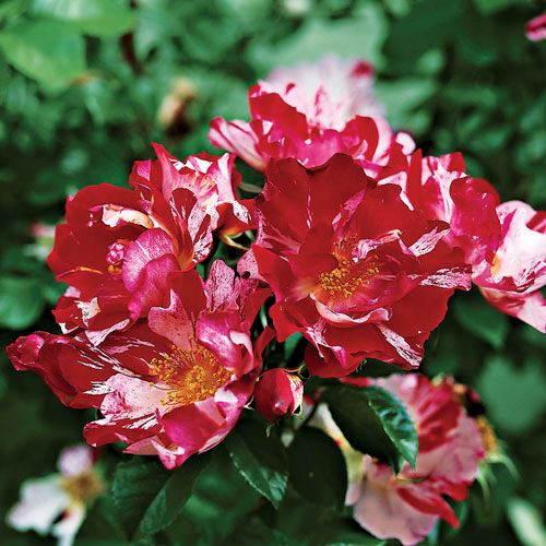 Fourth of July™ Climbing Rose