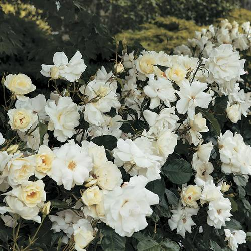 White Simplicity® Hedge Rose