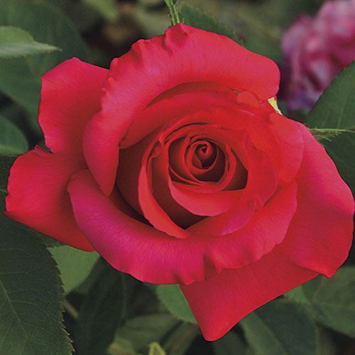 April Moon® Hybrid Tea Rose