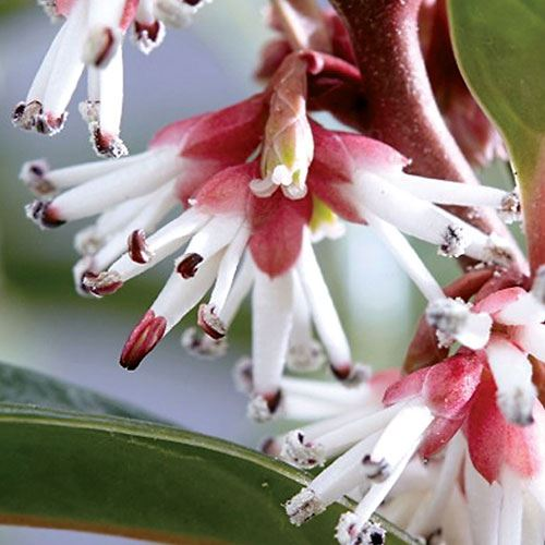 Sarcococca Winter Gem