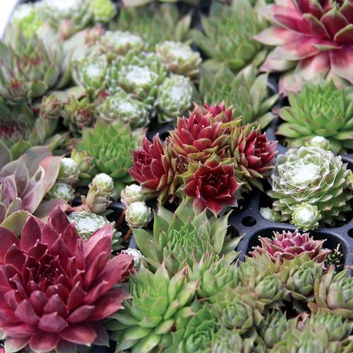 Sempervivum Assorted