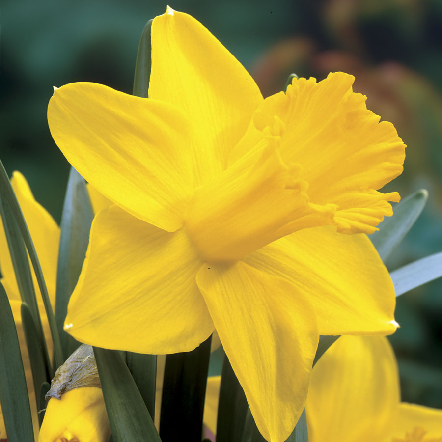 Narcissus 'King Alfred Improved' Image