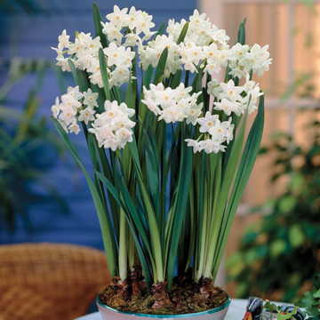 Narcissus Paperwhite - Pack of 5 Image