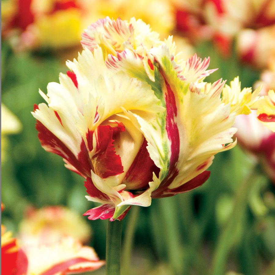 Parrot tulip 39 texas flame 39 at wayside gardens for Tulip garden in texas