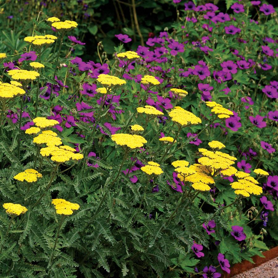 Border Achillea And Geranium Mix For Sale At Wayside Gardens