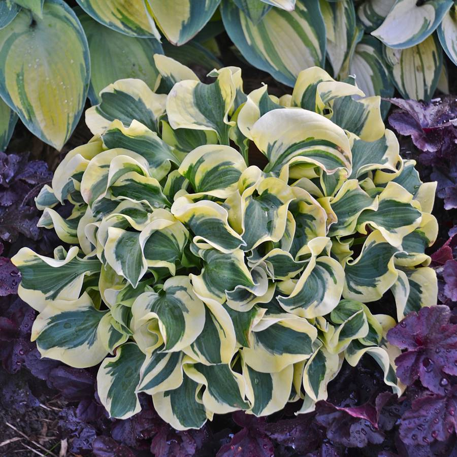Shade perennial plants flowers perennials for shade gardens hosta mini skirt mightylinksfo