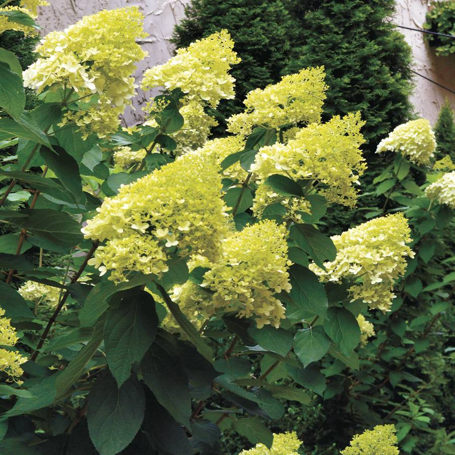 New Hydrangea 'Limelight' at Wayside Gardens AK63