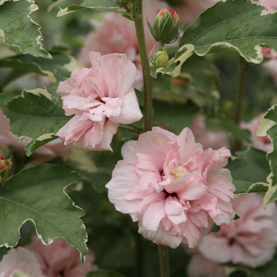Hibiscus Shrub Plants A Must Have Perennial Plant For A Sunny Garden
